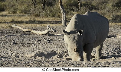 White Rhino - African White Rhinoceros or Square-lipped...