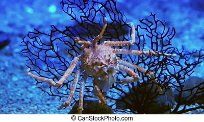 King Crab at aquarium under ocean dark blue bottom Stock...