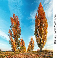 Poplar tree with road at fall
