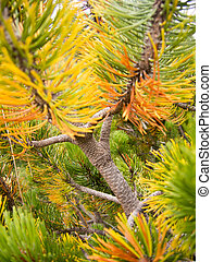 evergreen juniper tree branch