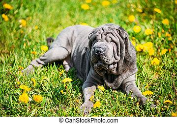 Błękitny, Shar, na wolnym powietrzu, Park, pies, zielony,...