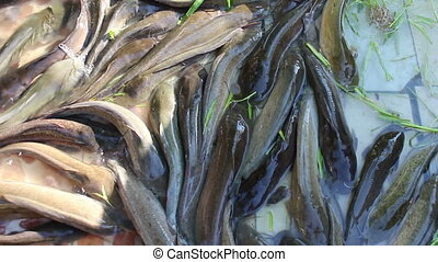 tight group of Catfish - group Catfish in ponds
