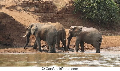 African elephants spraying mud - Large African bull...