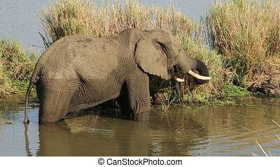 Feeding African elephant - An large African bull elephant...