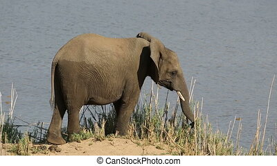 Feeding African elephant - A young African elephant...