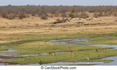 Impala antelopes (Aepyceros melampus) in natural habitat,...