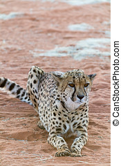 Lazy Cheetah Gepard Seen and shot on selfdrive safari tour...