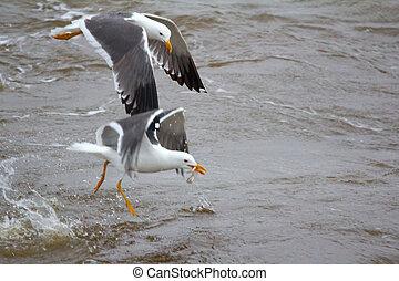 Northern herring gull or lesser black-backed gulls (Larus...