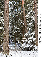 Winter landscape of natural forest with pine trees trunks...