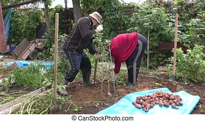 The man and the woman dig a potato