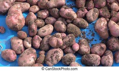 The dug out potato, harvesting