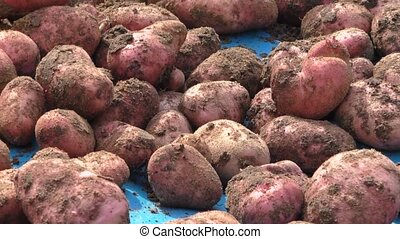 The dug out potato, harvesting