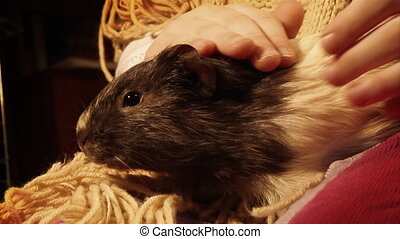 guinea pig - close-up guinea pig at childs hands