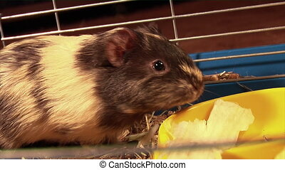 eating guinea pig - guinea pig eat the cabbage