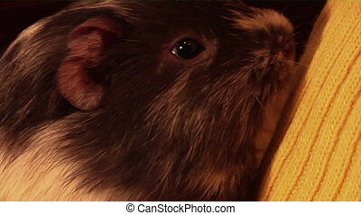 guinea pig yawn big - close-up guinea pig yawn big at childs...