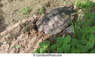 Turtles lay their eggs in the sand - Turtles are laying...