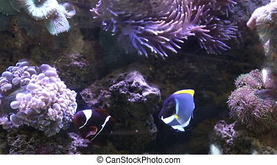 Sea Anemone Underwater nature - Sea Anemone and anemone fish...