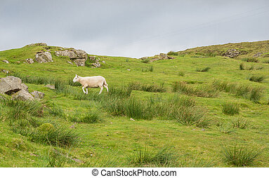 Sheep in landscape at West coast of Scotland near Neist...