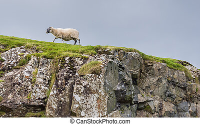 Sheep in landscape at West coast of Scotland - Sheep...
