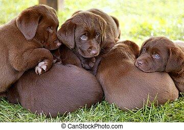 marrón, Labrador, perro cobrador, perro, basura,...