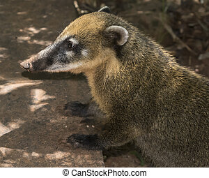 Side View Coati at Iguazu Park in Argentina - Side view of...