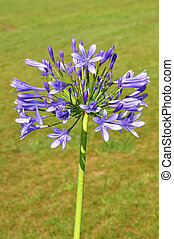 African lily Agapanthus africanus