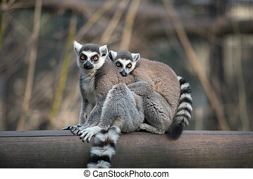 Two ring-tailed lemurs hugging each other looking at camera