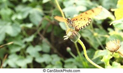 Orange Butterfly flowers swarming - Orange Butterfly flowers...
