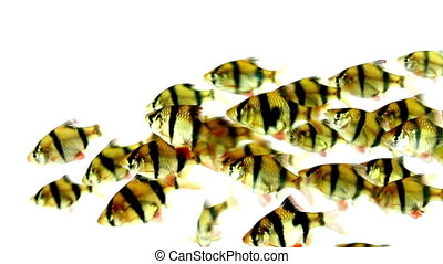 Tiger Barb fish on isolated background