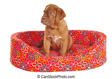 Puppy Sitting in its Cot - Puppy of Dogue De Bordeaux is...