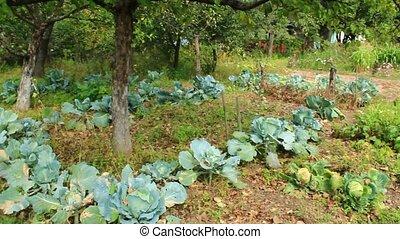 green cabbages in kitchen garden