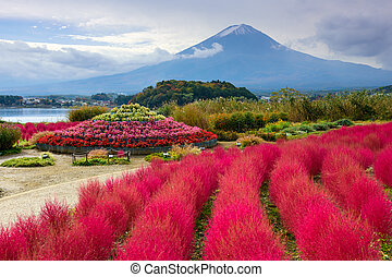Fuji at Oishi Park - Fuji Mountain, Japan with kokia bushes...