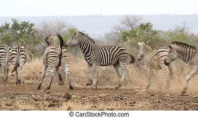 Plains Zebras fighting - Two Plains (Burchells) Zebras...