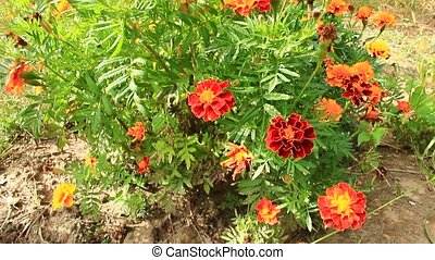 beautiful flower of tagetes - beautiful flower of motley and...