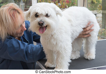Grooming a white Maltese dog standing on the table - The...
