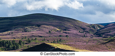 Heather on the Cairngorm Mountain Range
