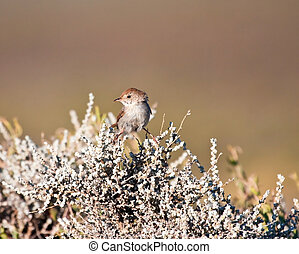 Small brown bird balancing on a shrub in the Karoo