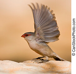 Common Waxbill sitting on a rock