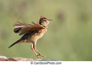 Rufous-naped Lark displaying from a post to declare his...