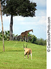 A wild safari scene - Eland, Reticulated Giraffe and Grant's...