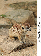 small meercat resting - small meercat is resting near her...