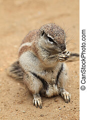 exotic sand squirrel - small exotic sand squirrel in the...