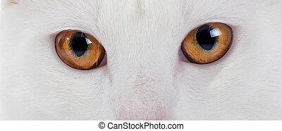 ojos, blanco, doméstico, gato, amarillo