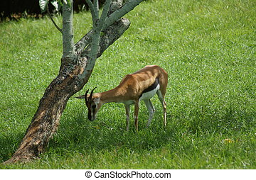 Thompson's Gazelle - Eudorcas thomsonii - A small wild...