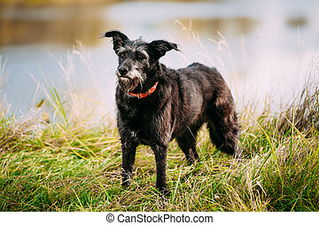 Small Size Black Dog in grass near river, lake. Summer