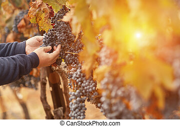 Farmer Inspecting His Wine Grapes In Vineyard
