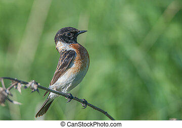 Male Europian stonechat Saxicola rubicola is sitting on twig...