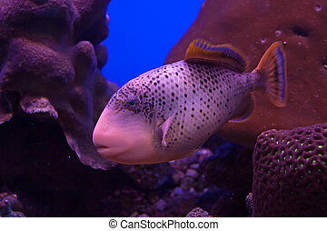 Yellowmargin triggerfish ( Flavimarginatus pseudobalistes )...