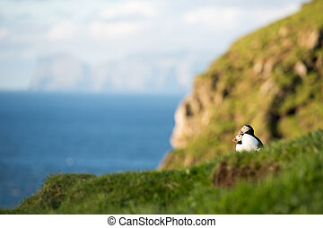 Atlantic puffins, Fratercula arctica sitting on a cliff on...