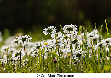 low angle view of common daisies growing on meadow